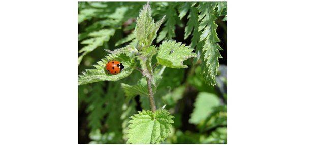 On favorise des solutions alternatives lorsqu'une plante est malade ou a des parasites ©JB Saint Jean de Luz