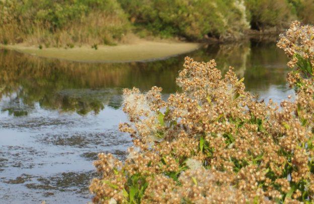 Des plantes familières, comme les baccharis, le séneçon en arbre, sont allergisantes © Bernrd Blanc
