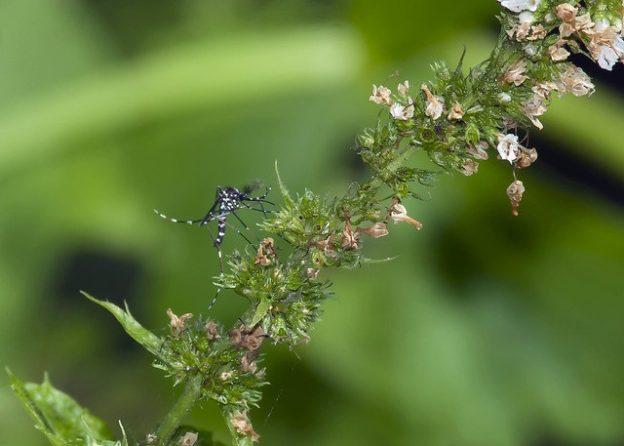 L'idée est de faire connaître ce moustique © JF Bousquet